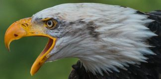 nj environment news, bald eagle