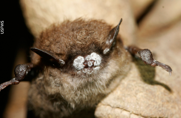 bats white nose syndrome, new jersey environment, wildlife