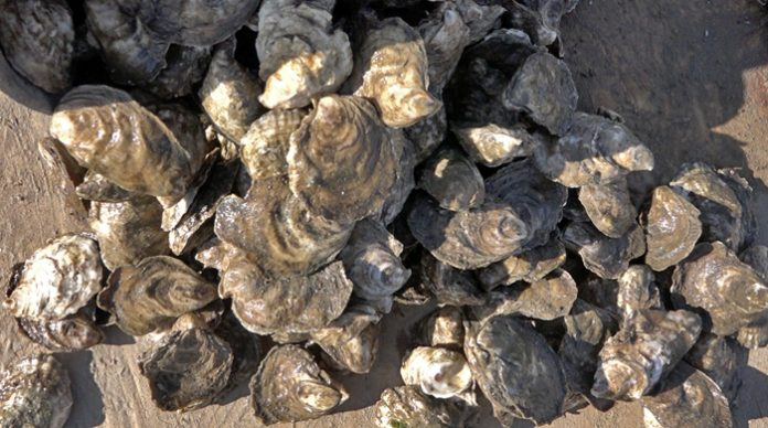 Oysters, NJ environment news