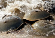 horseshoe crabs, delaware bay, new jesey wildlife