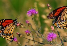 monarch butterflies, new jersey wildlife
