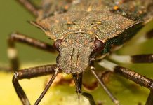stinkbug, invasive species, new jersey environment