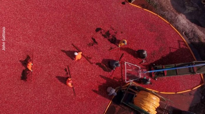 Cranberry Harvest, new jersey farming