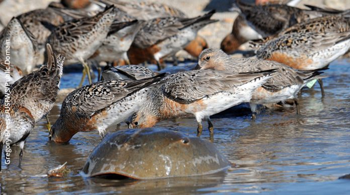 Red knots and Horseshoe crabs, Delaware Bay