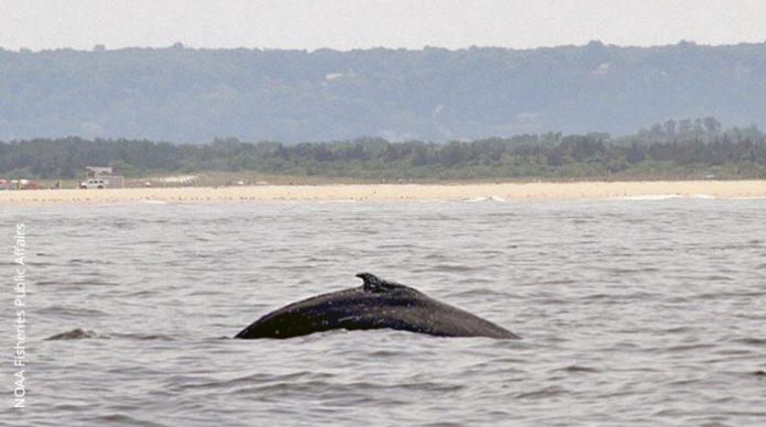 Humpback whale in Sany Hook Bay