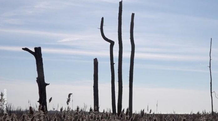 Ghost forest, Delaware Bayshore, New Jersey