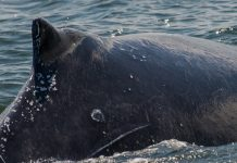 Humpback Whale, New Jersey