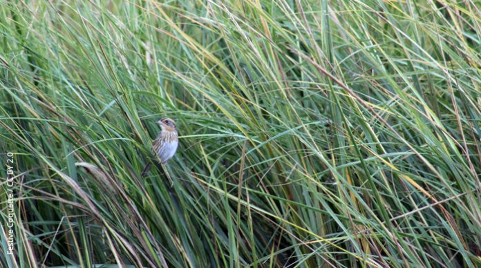 Saltmarsh Sparrow, Cape May